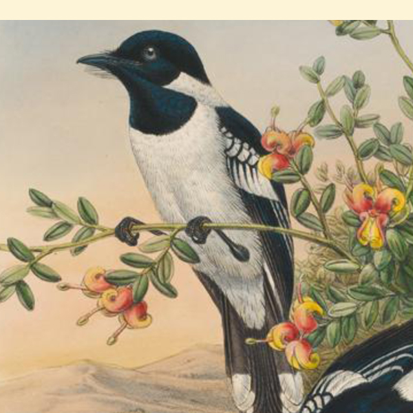 Swansong of a Bird Man: John Gould's Ornithological Illustrations